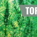 Top 7 Mejores Variedades De Cannabis Y Sus Creadores