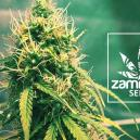 Nueva cepa en Zamnesia: Girl Scout Cookies