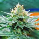 Origen De La Marihuana Amnesia Y Las 3 Mejores Cepas