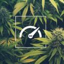 Cómo Aumentar Los Niveles De Cbd Al Cultivar Marihuana