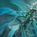 Variedad de marihuana con menos de 1% de THC: CBD Fix Auto