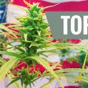 Top 10 De Variedades De Cannabis De EE.UU.