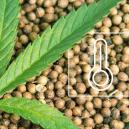 Las Mejores Semillas De Cannabis Para Cultivo En Exterior