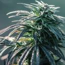 Reseña de Cepa: Northern Lights