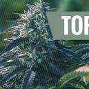 5 Mejores Ventajas de las Semillas Autoflorecientes