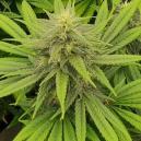 Reseña de Cepas: Pineapple Chunk