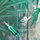 Cómo Podar Plantas de Marihuana