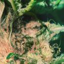 Consejo de Cultivo: Cómo Reconocer y Prevenir la Putrefacción del Brote