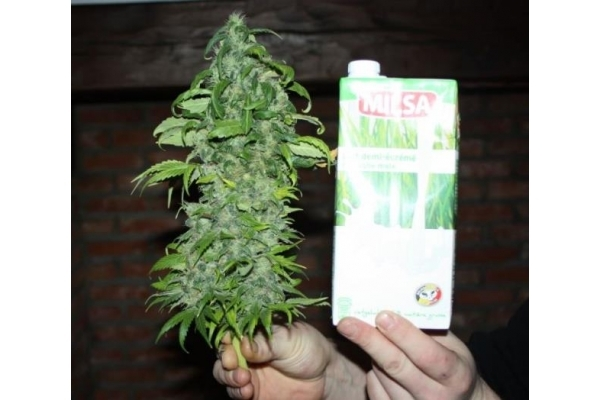 Fruit Spirit (Royal Queen Seeds) feminizada