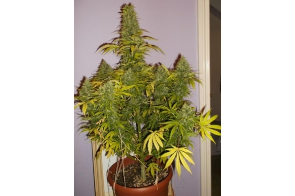 Shining Silver Haze (Royal Queen Seeds) feminizada