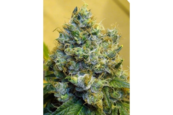 Blue Mystic (Royal Queen Seeds) feminizada