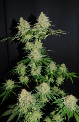 Spliff's Strawberry (Spliff Seeds) feminizada