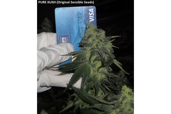 Pure Kush (Original Sensible Seeds) feminizada