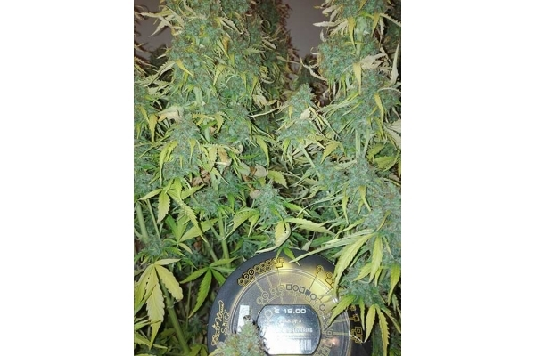 Big Bang Autoflowering (Greenhouse Seeds) feminizada