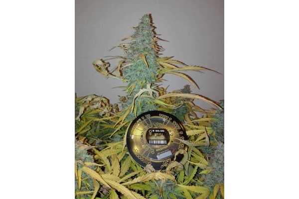 King's Kush Autofloreciente (Greenhouse Seeds) feminizada