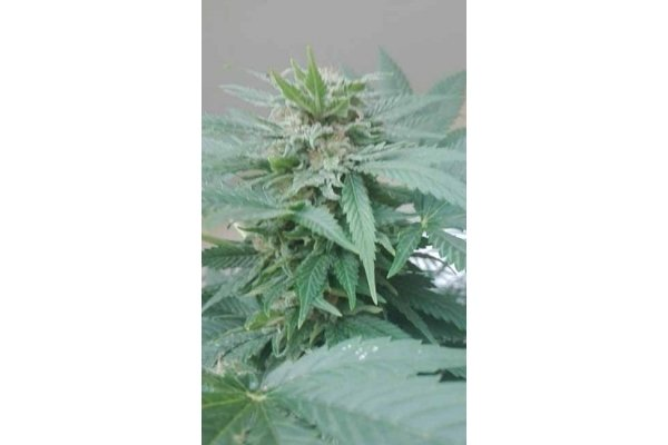 Super Auto Tao (Top Tao Seeds) regular